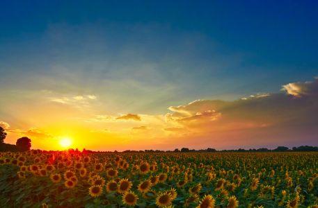 Campo di Girasoli al tramonto